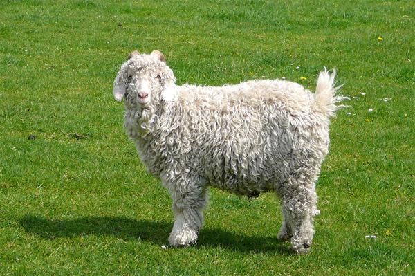 Ангорская коза | Манифаттура