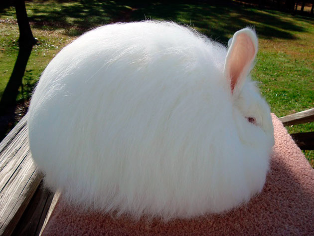 Ангорский кролик | Манифаттура