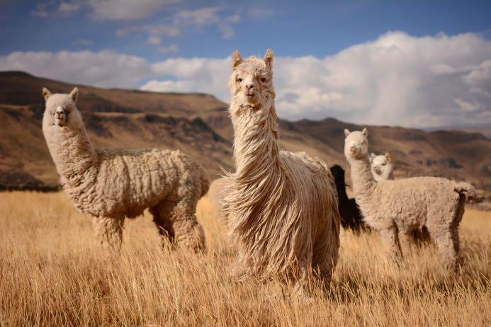 Альпака сури | Манифаттура